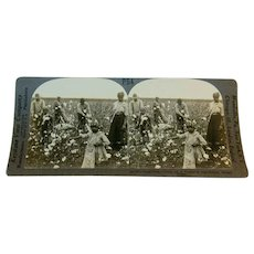 Early Stereoview Card Showing Black Americans Gathering Cotton on Southern Plantation By Keystone View Company
