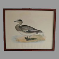 Antique Wood Block Engraving of American Wigeon by Fawcett