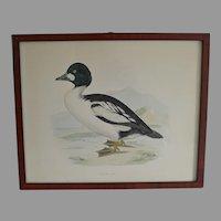 Antique Golden Eye Duck Lithograph by Fawcett