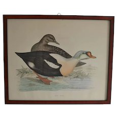 Antique King Duck Litho by Fawcett