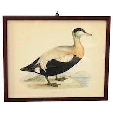 Antique Eider Duck Lithograph by Benjamin Fawcett