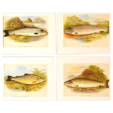 Antique Salmon and Trout Prints by A.F. Lydon