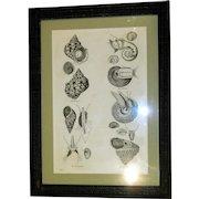 Rare Print of Mollusks/Sea Shells, Framed