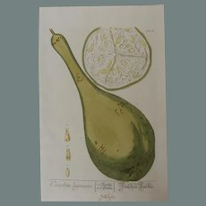 18th Century Floral Copper Engraving of Calabash or Bottle gourd out of the Herbarium of ELIZABETH BLACKWELL HANDCOLORED