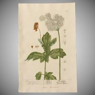 18th Century Floral Copper Engraving of Hogweed out of the Herbarium of ELIZABETH BLACKWELL HANDCOLORED