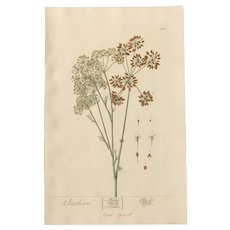 18th Century Floral Copper Engraving of Dill out of the Herbarium of ELIZABETH BLACKWELL HANDCOLORED - Red Tag Sale Item