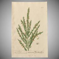 18th Century Floral Copper Engraving of Turkish Corn out of the Herbarium of ELIZABETH BLACKWELL HANDCOLORED