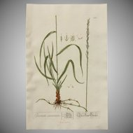 18th Century Floral Copper Engraving of Couch Grass out of the Herbarium of ELIZABETH BLACKWELL HANDCOLORED