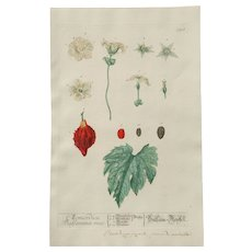 """18th Century Floral Copper Engraving of """"Balsam-Pear"""" - """"Momordica Charantia"""" out of the Herbarium of ELIZABETH BLACKWELL HANDCOLORED - Red Tag Sale Item"""