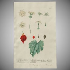 """18th Century Floral Copper Engraving of """"Balsam-Pear"""" - """"Momordica Charantia"""" out of the Herbarium of ELIZABETH BLACKWELL HANDCOLORED"""