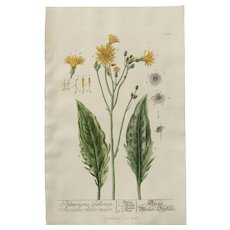 """18th Century Floral Copper Engraving of Hieracium - """"Hawkweed"""" out of the Herbarium of ELIZABETH BLACKWELL HANDCOLORED - Red Tag Sale Item"""