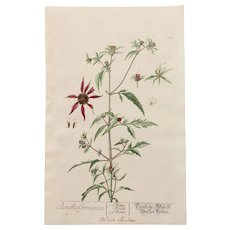 18th Century Floral Copper Engraving of Three-lobe Beggarticks out of the Herbarium of ELIZABETH BLACKWELL HANDCOLORED - Red Tag Sale Item