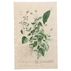 18th Century Floral Copper Engraving of Acmella out of the Herbarium of ELIZABETH BLACKWELL HANDCOLORED