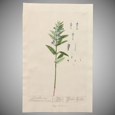 18th Century Floral Copper Engraving of Skullcap from the Herbarium of ELIZABETH BLACKWELL HANDCOLORED
