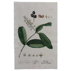 18th Century Floral Copper Engraving of Cherry Laurel from the Herbarium of ELIZABETH BLACKWELL HANDCOLORED