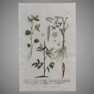 18th Century Floral Copper Engraving of Japanese Water Parsnip from the Herbarium of ELIZABETH BLACKWELL HANDCOLORED