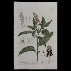18th Century Floral Copper Engraving of  Red Inkplant / Inkberry from the Herbarium of ELIZABETH BLACKWELL HANDCOLORED