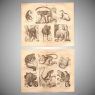 19th Century Set of two Prints of Apes and Monkeys - 1874 Zoology Steel Engraving