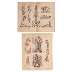 19th Century Set of two colored Prints of the Veins & Tapes of the human being - 1874 Anatomic Steel Engraving
