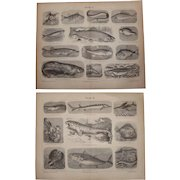 19th Century Set of two Prints of Fish - 1874 Zoology Steel Engraving