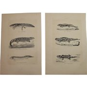 19th Century Set of two Prints of different Amphibians - 1860's Zoology Steel Engraving