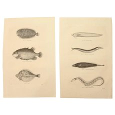 19th Century Set of two Prints of Plaice, Eels and other Fish - 1860's Zoology Steel Engraving