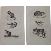 19th Century Set of two Prints of different Marsupials incl. Kangaroo & Koala - 1860's Zoology Steel Engraving Marsupials