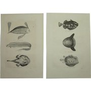19th Century Set of two Prints of Sunfish, Triggerfish and other Fish - 1860's Zoology Steel Engraving