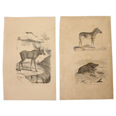 19th Century Set of two Prints of Boar, Zebra & Moose - 1860's Zoology Steel Engraving Mamals