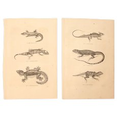 19th Century Set of two Prints of Lizards, Geckos & other Reptiles - 1860's Zoology Steel Engraving