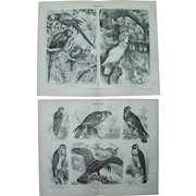 19th Century Set of two Prints of Birds - Parrots & Raptors - 1877 Zoology Steel Engraving