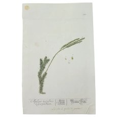 18th Century Floral Copper Engraving of the Clubmoss Lycopodium from the Herbarium of ELIZABETH BLACKWELL HANDCOLORED