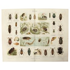 19th Century Polychrome Lithograph of Beetles - 1878 Zoology Print of Insects