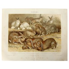 19th Century Polychrome Lithograph of Rabbits and Bunnies - 1878 Zoology Print
