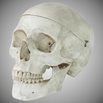 Vintage Anatomical Model of a Human Skull - Life Size Cranium
