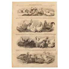 1854 Original Depiction of the winning Birds of the Metropolitan Poultry Show - Antique Steel Engraving