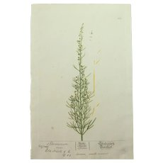 18th Century Floral Copper Engraving of Southernwood from the Herbarium of ELIZABETH BLACKWELL HANDCOLORED