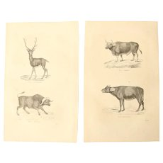 19th Century Set of two Prints of Dear and Bulls - 1860's Zoology Steel Engraving Mammals