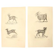 19th Century Set of two Prints of Goat, Antelopes and Sheep - 1860's Zoology Steel Engraving Mammals