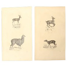 19th Century Set of two Prints of Antelope, Lama, Chamois and Chevrotain - 1860's Zoology Steel Engraving Mammals