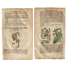 16th Century Renaissance Print of Cornus & Hackberries- 1590's Botanical Woodcut
