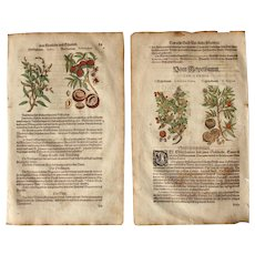 16th Century Renaissance Set of two Prints of Peach, Armenian Plum, Apricot & Medlar - 1590's Botanical Woodcut