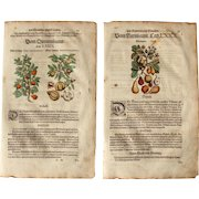 16th Century Renaissance Print of Quince & Pear - 1590's Botanical Woodcut