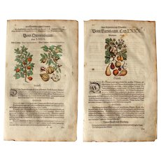 16th Century Renaissance Print of Quince & Pear - 1590's Botanical Woodcut