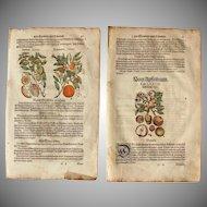 16th Century Renaissance Set of two Prints of Orange, Lemon, Apple & Osage orange - 1590's Botanical Woodcut