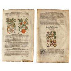 16th Century Renaissance Set of two Prints of Orange, Lemon, Apple & Osage orange - 1590's Botanical Woodcut