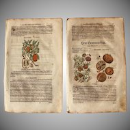 16th Century Renaissance Print of Pomegranate & Citron- 1590's Botanical Woodcut
