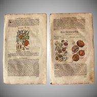 16th Century Renaissance Print of Pomegranate & Citron- 1590's Botanical Woodcut