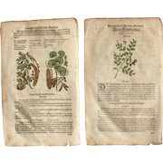 16th Century Renaissance Set of two Prints of Carob Tree, Wild Cherry &  Buckthorn  - 1590's Botanical Woodcut