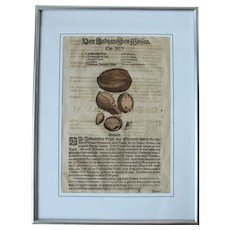 16th Century Renaissance Print of Coconut in modern Frame- 1590's Botanical Woodcut